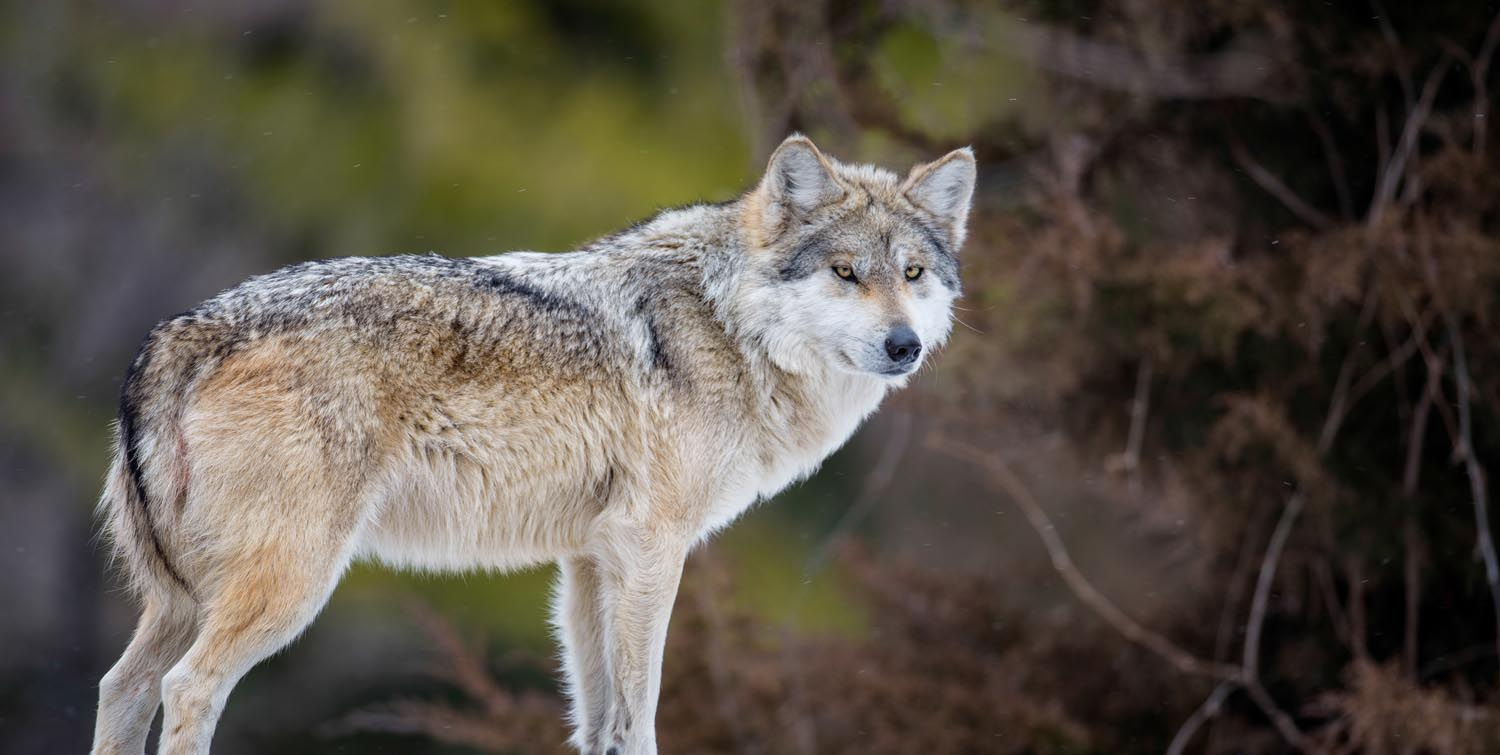 To the rescue of the Mexican wolf - Carlos Slim Foundation