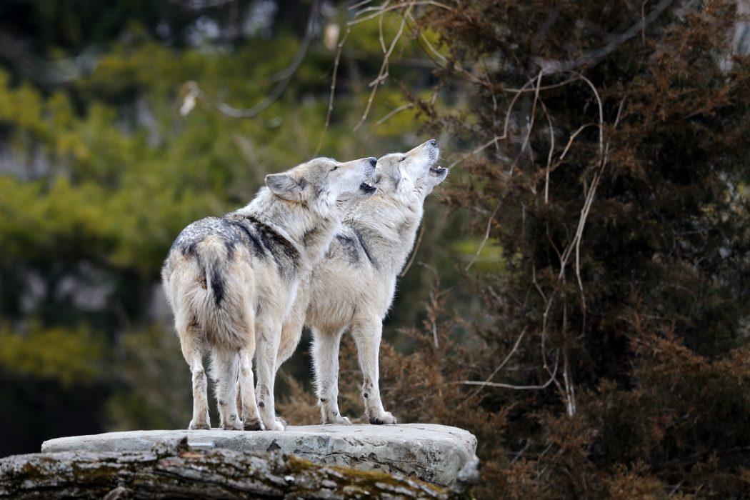 Continúa En Peligro De Extinción El Lobo Mexicano
