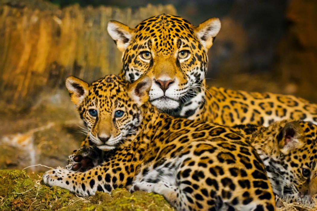 detr s de la naturaleza del jaguar fundaci n carlos slim. Black Bedroom Furniture Sets. Home Design Ideas