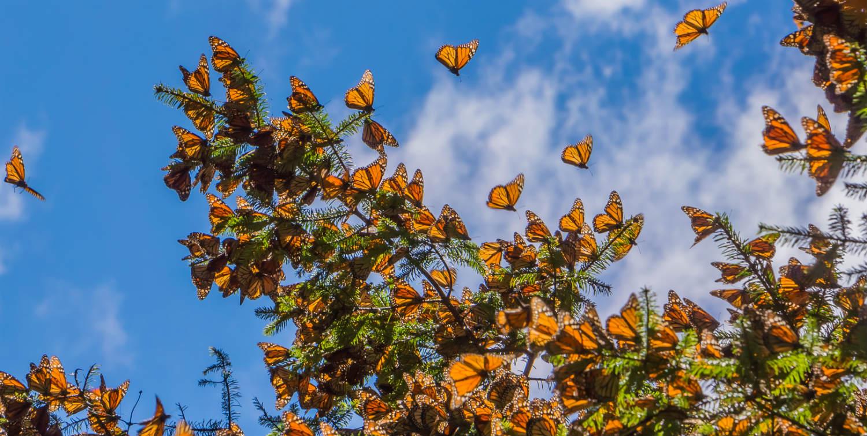 Mariposas Monarcas llegan a los santuarios de Michoacán